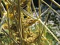 Aciphylla subflabellata, RBGE 2010, 3.jpg