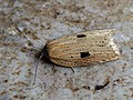 Acleris lorquiniana - Marsh button (43757522632).jpg