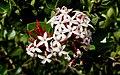 Acokanthera schimperi flowers.jpg