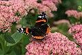 Admiral (butterfly).jpg