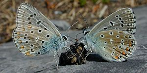Coprophagia - Two Adonis blue butterflies lap at a small lump of feces lying on a rock.