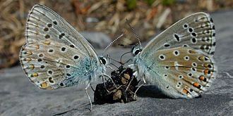 Coprophagia - Two Adonis blue butterflies feeding on a lump of feces