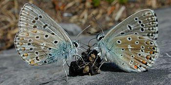 Two butterflies feed on a small lump of feces lying on a rock