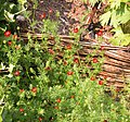 Adonis aestivalis plant (08).jpg
