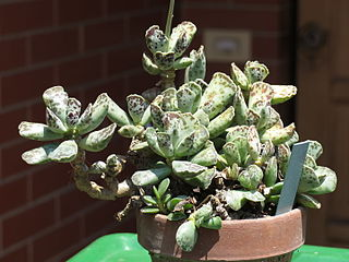 <i>Adromischus cooperi</i> Species of plant