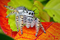 Adult female jumping spider - (Phidippus mystaceus).jpg