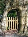 Adwy Ffawydd. Beech Gateway. - geograph.org.uk - 356037.jpg