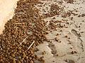 Aegagropiles rejetés sur une plage de sable.jpg