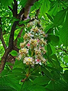 Aesculus Hippocastanum Wikipedia