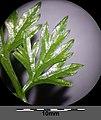 Aethusa cynapium subsp. cynapium s. lat. sl15.jpg
