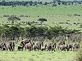 African Elephant (3076257344).jpg