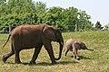 African elephants 45.JPG