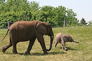 English: elephants