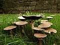 Agaricus sp. (35600539163).jpg