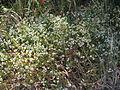Ageratina riparia plant1 (11508461815).jpg