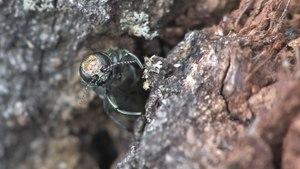 File:Agrilus biguttatus - 2012-05-28.webm