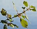 Alder Buckthorn (Frangula alnus) - Oslo, Norway 2020-08-27 (02).jpg
