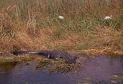 Un alligator de Chine