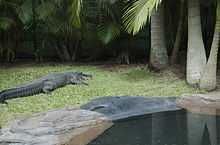 Alligator - Australia Zoo - Beerwah Queensland Australia - Flickr - Cindy Andrie.jpg