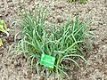 Allium hymenorhizum - Copenhagen Botanical Garden - DSC07667.JPG