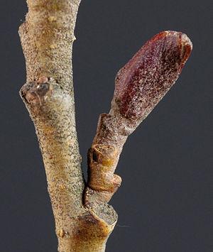 Bud - Image: Alnus glutinosa bud 2