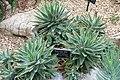 Aloe brevifolia - Brooklyn Botanic Garden - Brooklyn, NY - DSC08089.JPG
