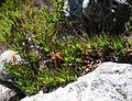 Aloe commixta - Table Mountain rocky slopes 3.jpg