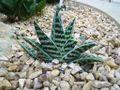 Aloe variegata0.jpg