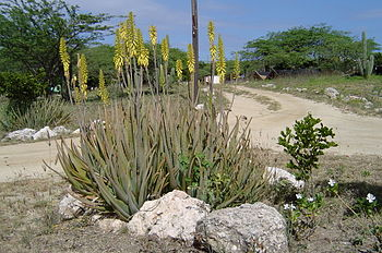 Aruba is known for its Aloe vera