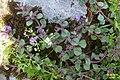 Alpine flora (Gru) (37590762671).jpg