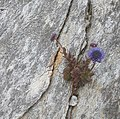 Alpine flower on limestone crag, Benbrack - geograph.org.uk - 200850.jpg