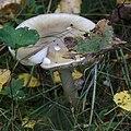 Amanita phalloides 93102581.jpg