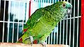Amazona aestiva -pet parrot-8a.jpg