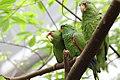 Amazona albifrons - Tiergarten Schönbrunn.jpg