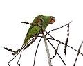Amazona albifrons Carara.jpg