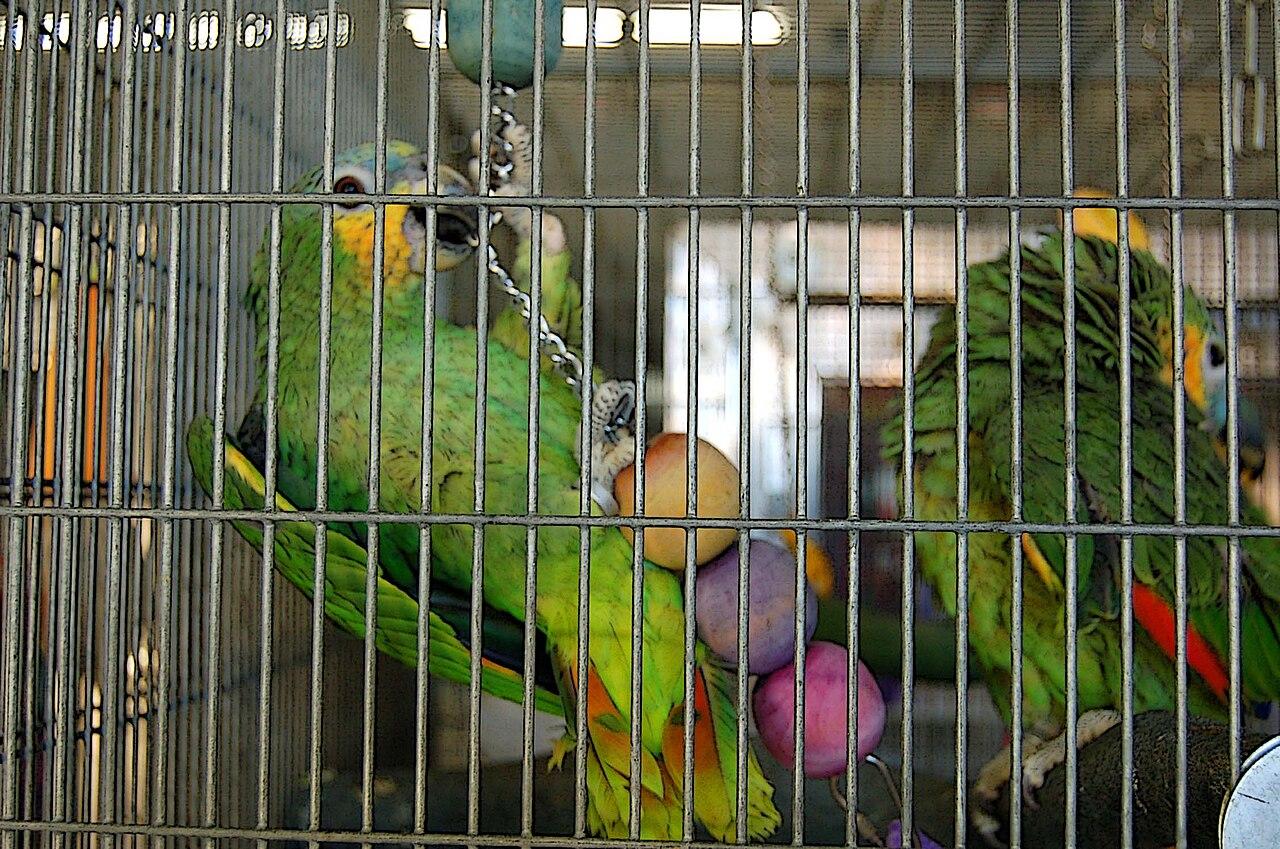 Amazona amazonica -cage -toy-8a.jpg