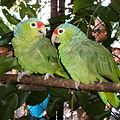 Amazona autumnalis -Cana Blanca Wildlife Sanctuary -Costa Rica-8a-4c.jpg