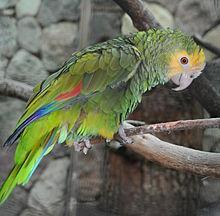 Amazona barbadensis qtl1.jpg