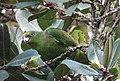 Amazona mercenarius Lora Andina Scaly-naped Parrot (14354163832).jpg