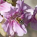Amegilla sp. - Flickr - gailhampshire.jpg
