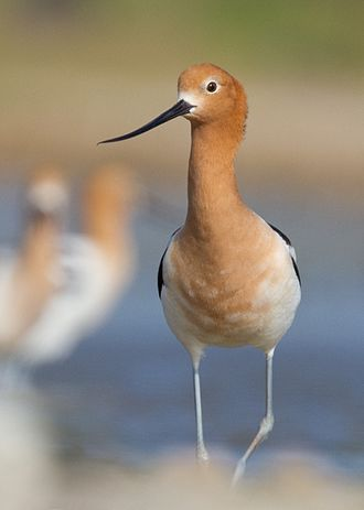 American avocet - Breeding plumage