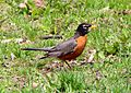 American Robin on Grass, Side Profile.jpg