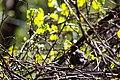American robin (32998257614).jpg