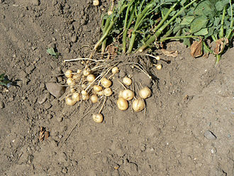 Tuber - Potato plant with revealed tubers