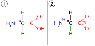 An amino acid, which shown in two ionization states. First, it is shown in the same arrangement as the lead image. This is the unionised form. It is also shown in the ionized form, after the carboxyl group has lost a hydrogen atom, which introduces a negative charge, and the amino group has gained a hydrogen, which introduces a positive charge.