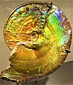 Ammonite - www.joyofmuseums.com - American Museum of Natural History.jpg