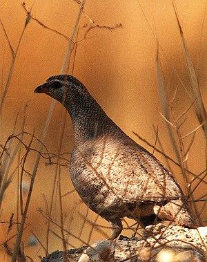 Ammoperdix - See-see partridge (A. griseogularis)