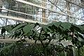 Amorphophallus titanum 08 by Line1.JPG