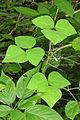 Amphicarpaea bracteata SCA-04709.jpg
