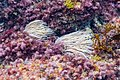 Anémona común de mar (Anemonia sulcata), isla de Mouro, Santander, España, 2019-08-15, DD 52.jpg